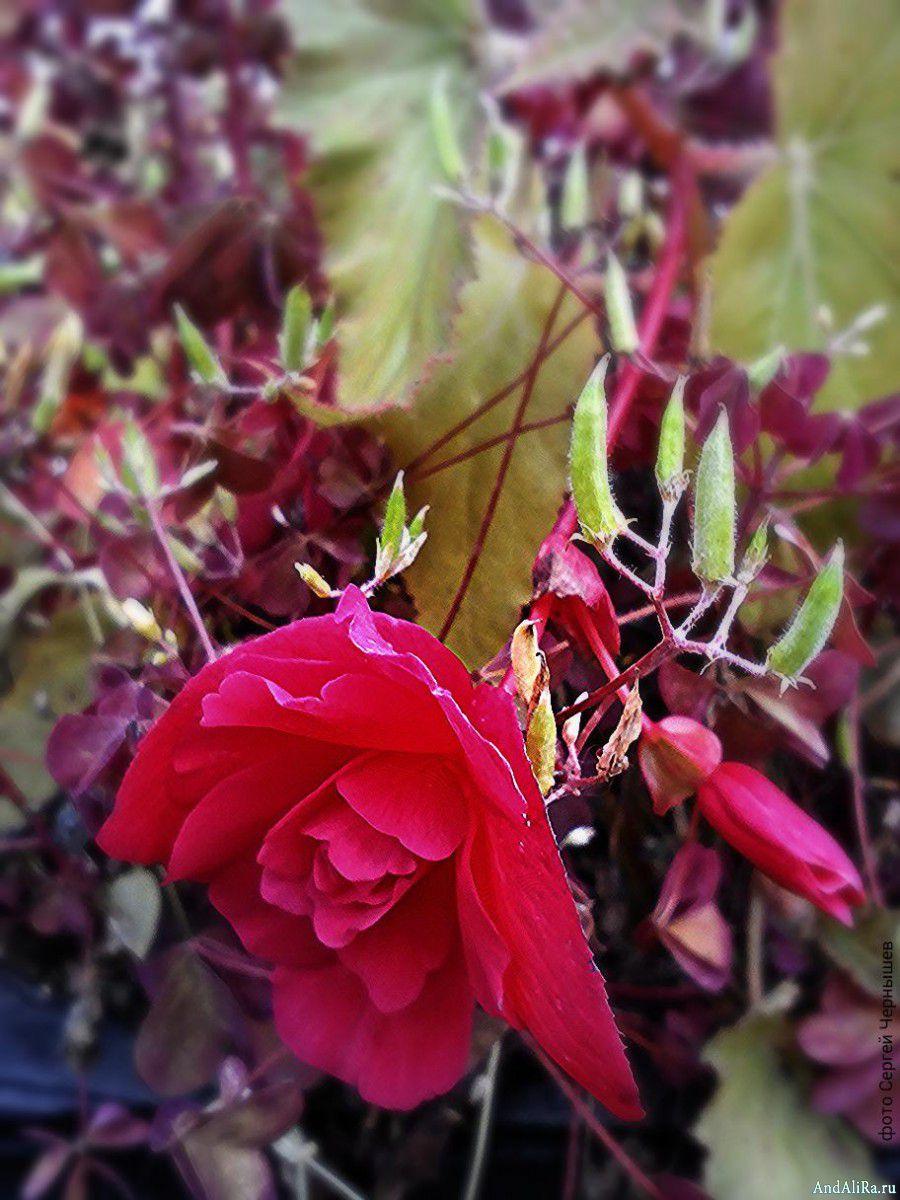 Бегония садовая: особенности выращивания и ухода, методы 22